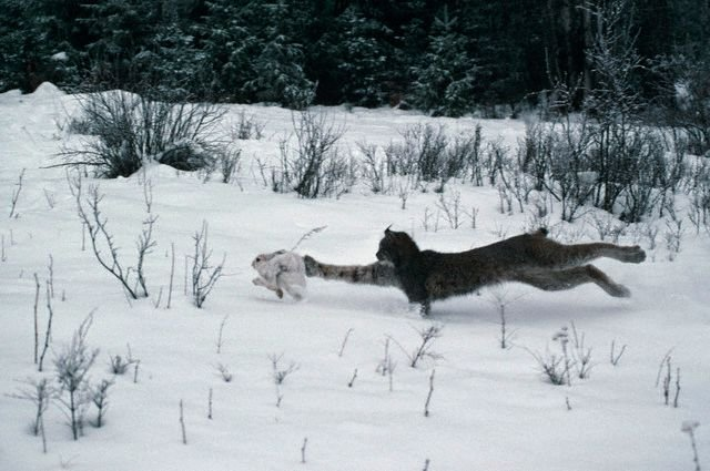 Охота рыси зайчика жалко 12 фото