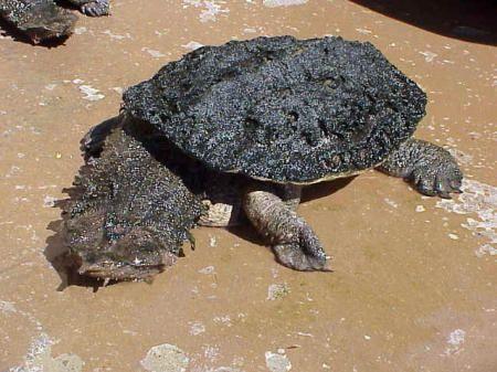 Черепаха трахает крота