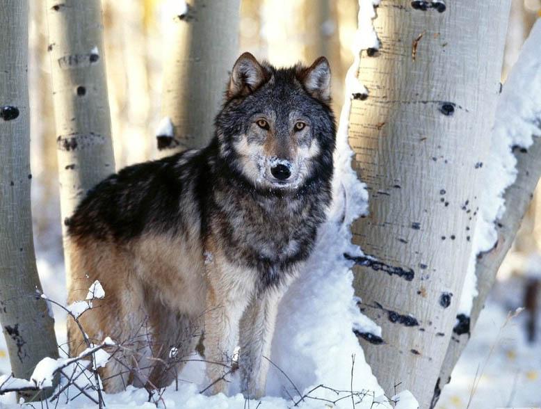 Волки 13 фото