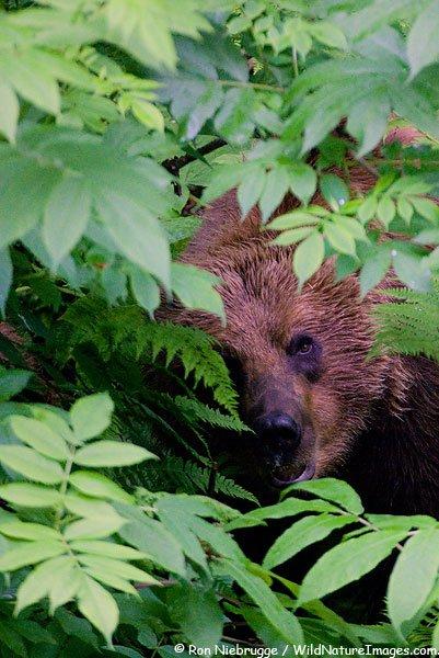 Медведи Аляски (58 фото)