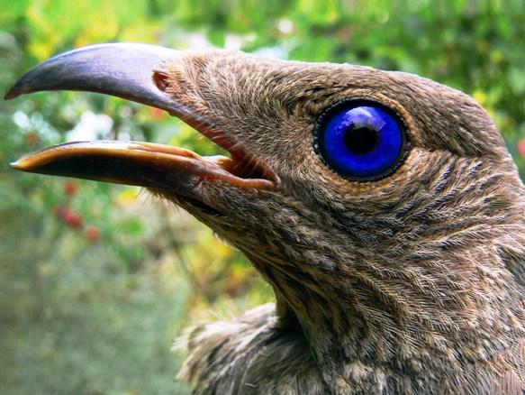 Шалашники - удивительные птицы