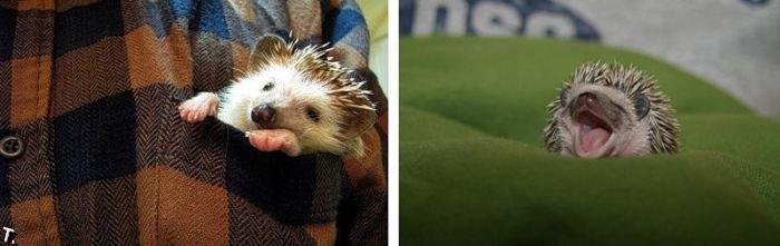 http://www.rulez-t.info/uploads/posts/2009-12/1261779096_very_cute_hedgehogs_28.jpg