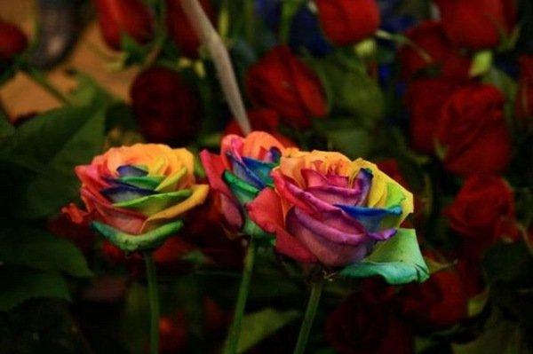 Красочные розы