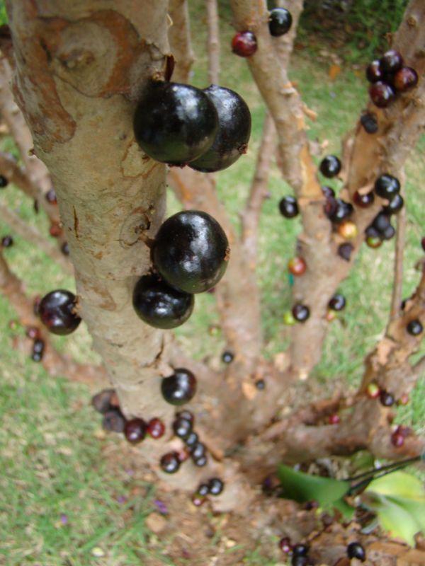 Джаботикаба - необычное дерево с плодами на стволе