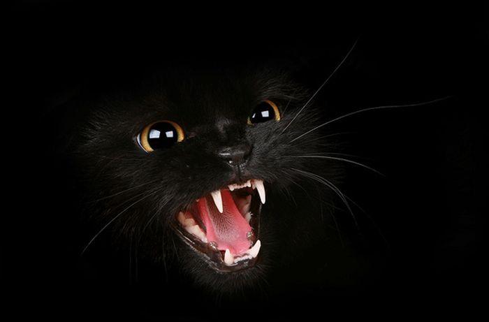 Обои, Злобный кошидзе, Хищник, Кошка, Чёрный фон, чёрная, Злость.