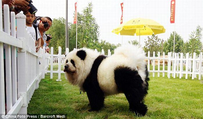 Собакопанды и собакотигры из Китая (Фотки)