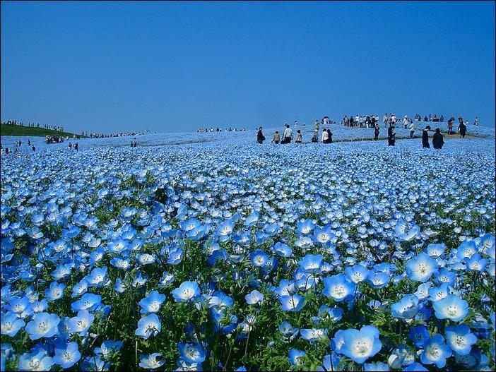 Цветущий японский национальный парк Хитачи