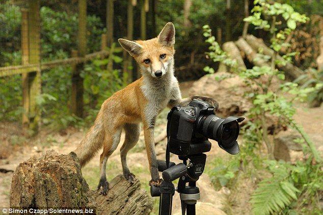 Фотокамера и любопытная лиса