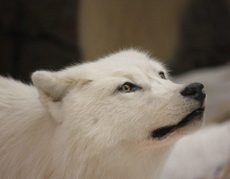 Полярный волк (24 фото)