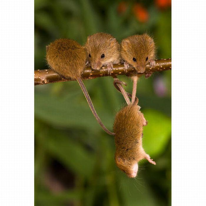 Полевые мышки