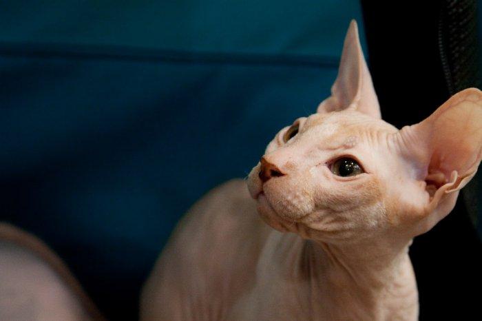 Выставка кошек в Израиле