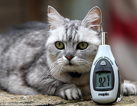 Кошка из великобритании мурлычет с
