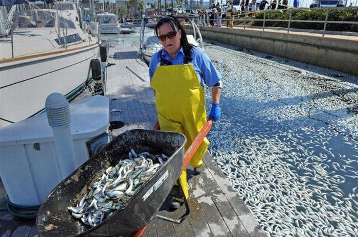 Массовая гибель рыбы в Калифорнии