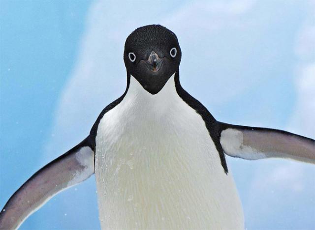 прикольные картинки с пингвинами: