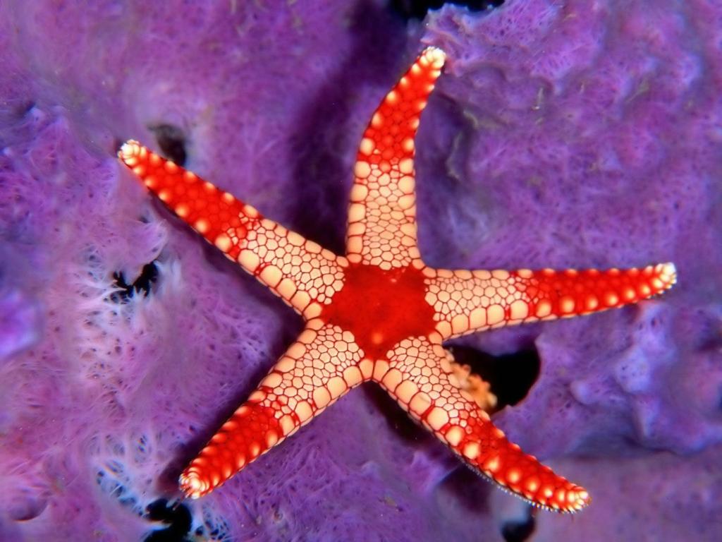 Морские звезды