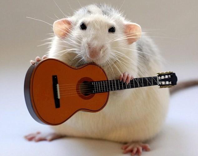 25 фактов о крысах