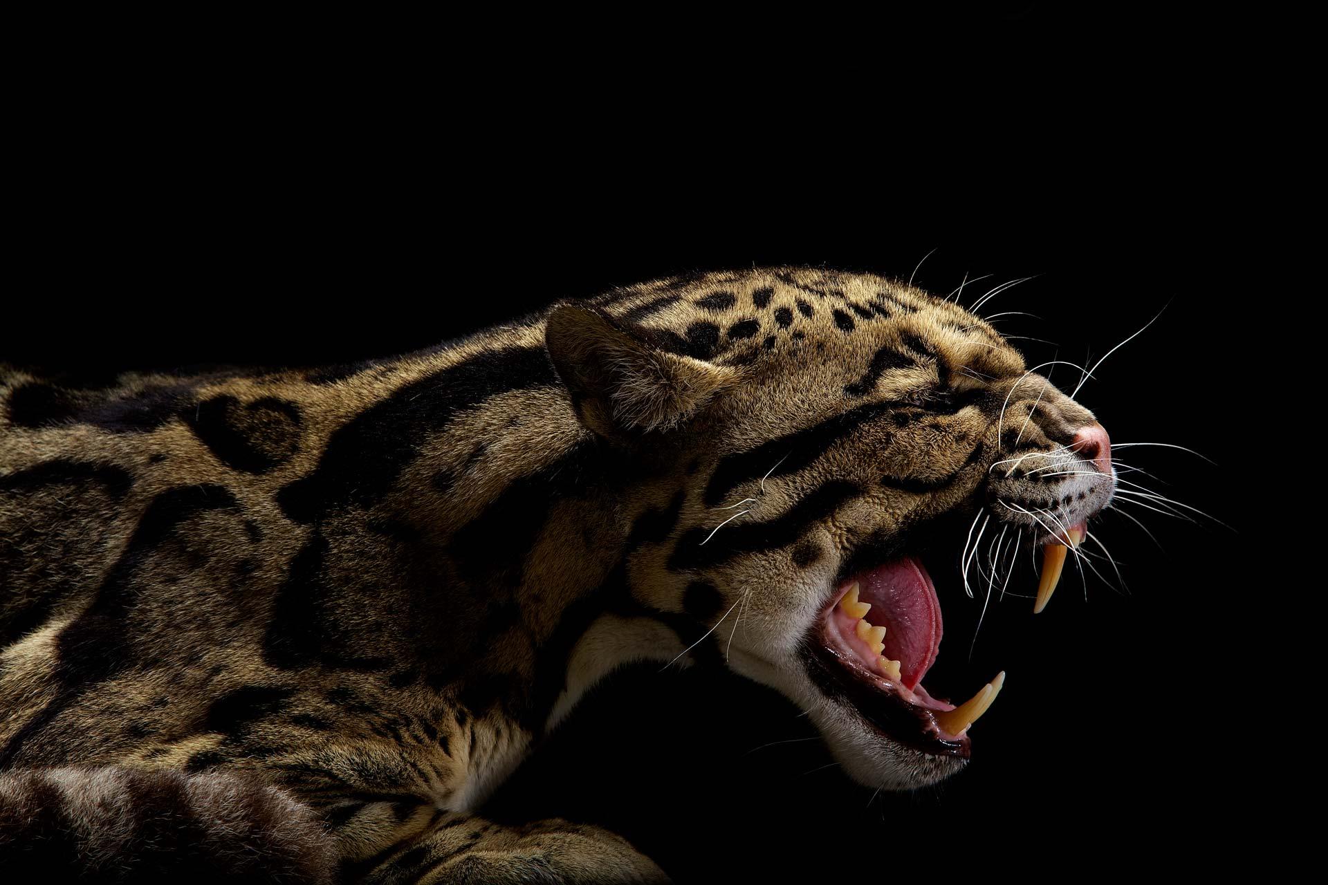 Картинки на рабочий стол львы тигры пантеры