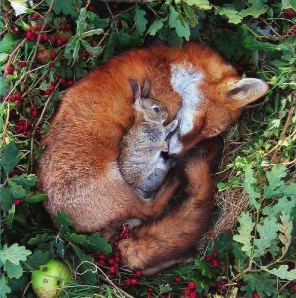 фото лиса кролик спят / Смешные картинки, приколы, видео, лучшие демотиваторы со смыслом и по-русски, много комиксов.