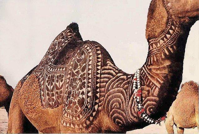 Стрижка верблюдов