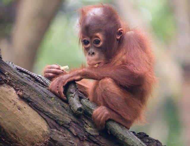 Детеныш орангутана из Сингапурского зоопарка