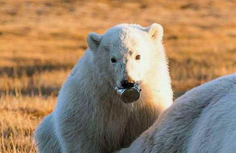 Белый медвежонок две недели промучился с застрявшей в пасти консервной банкой