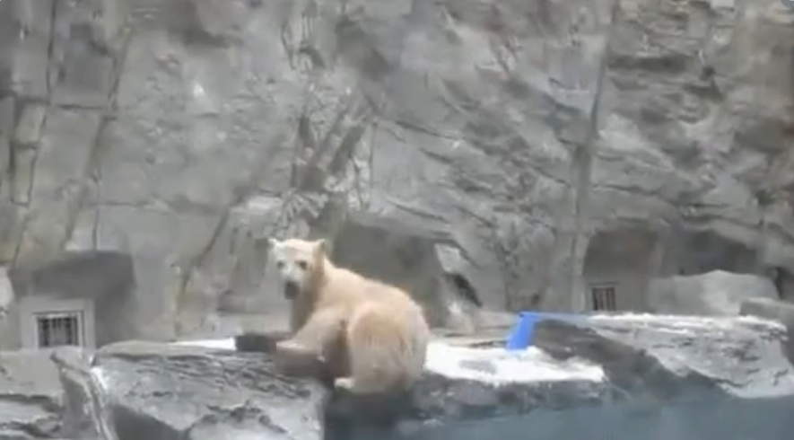 Спасение белого медвежонка