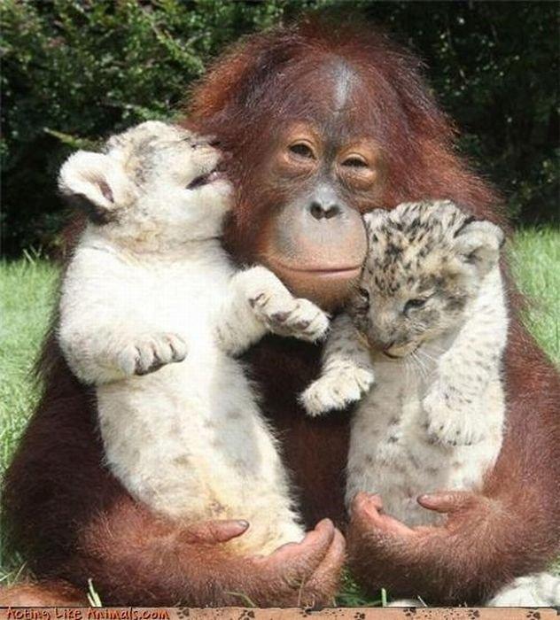 Нежная дружба разных животных (40 фото)