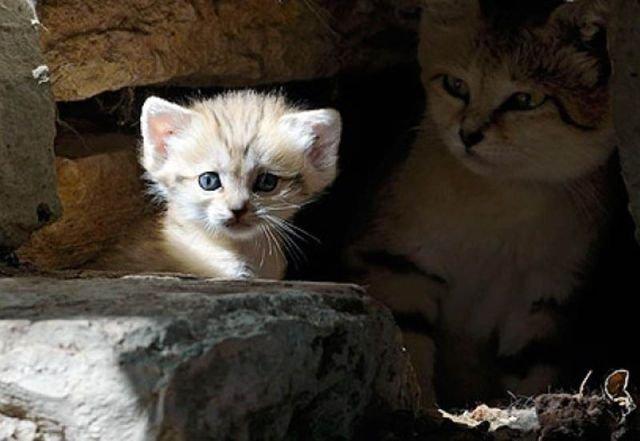 Песчаный кот (13 фото)