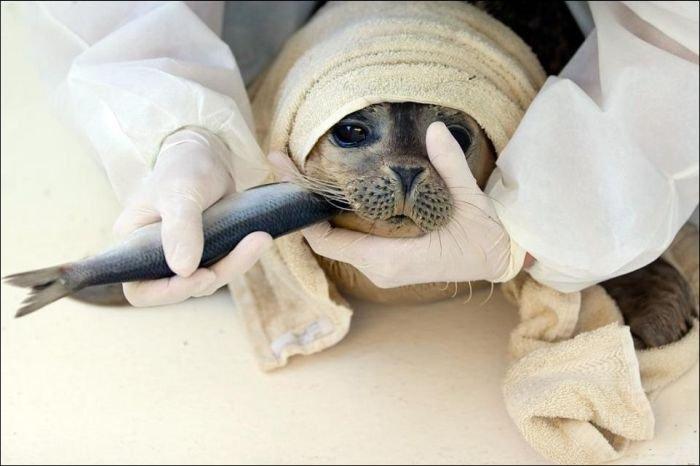 Спасение тюлений в Дании