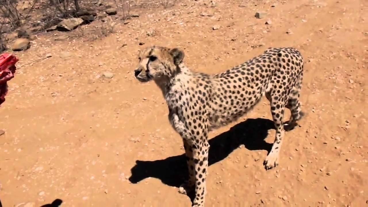 Леопард просит еды