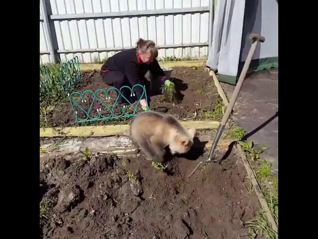 Медвежонок помогает хозяевам садить картошку