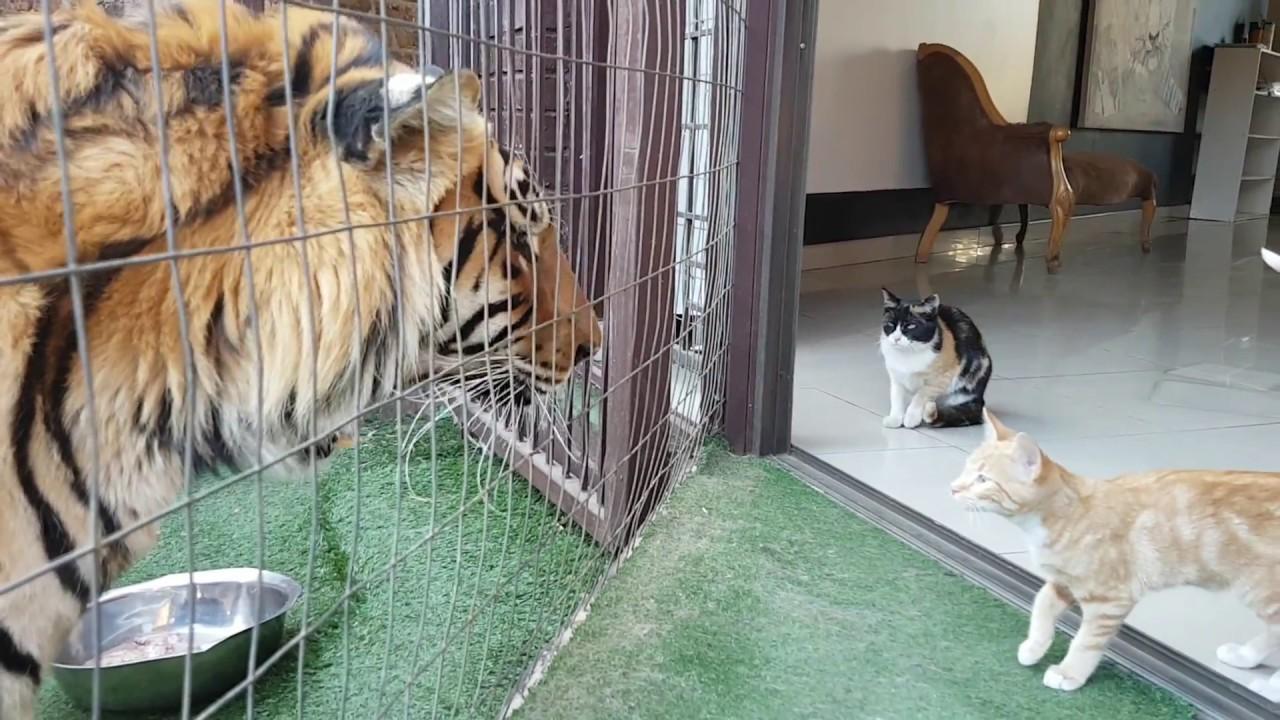 Мать-кошка смотрит за своими котятами которые гуляют возле большого Тигра