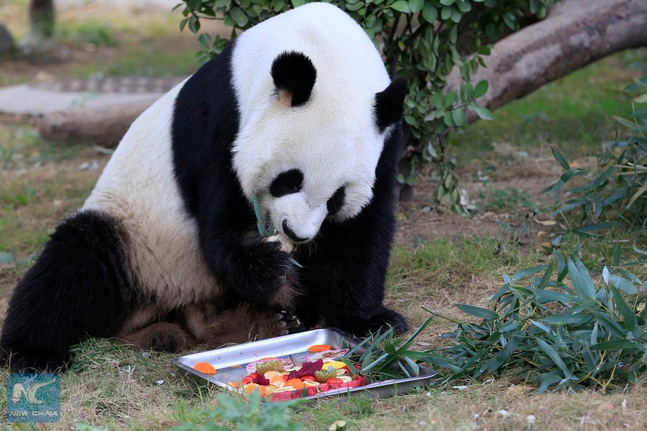Китайские работники Цзинаньского зоопарка поздравили панд Яцзи и Дундун с праздником