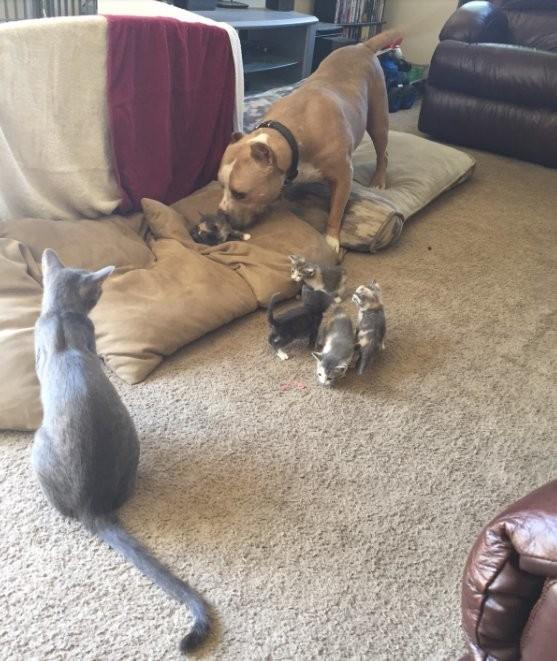 Питбуль воспитывает котят (7 фото)