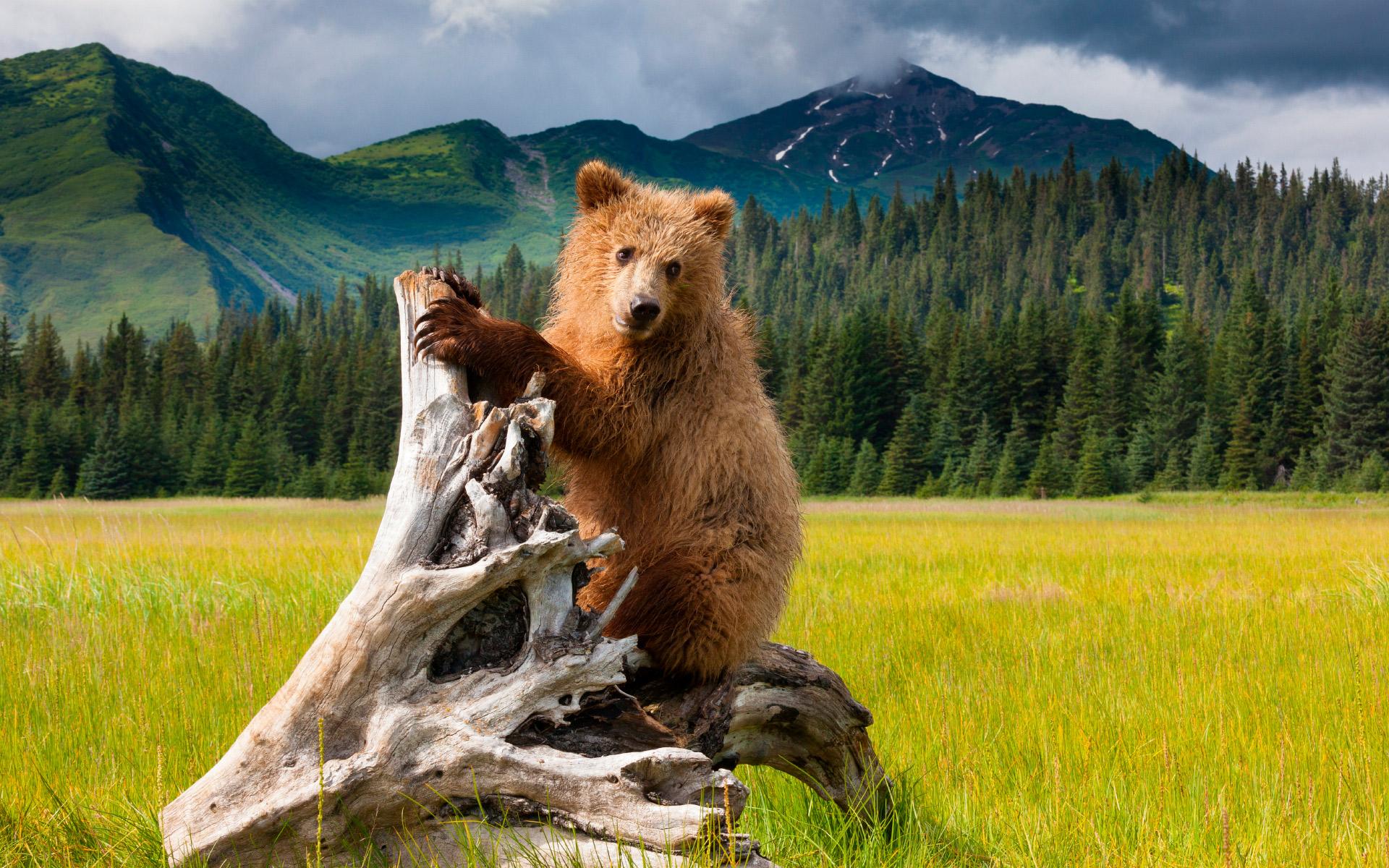 Медведи (12 фото)